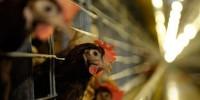 Португалия наказана за плохое отношение к курам-несушкам