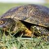В Португалии обнаружен вымирающий вид черепах