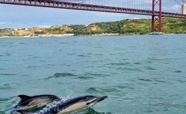 Португалия: дельфины вернулись в Лиссабон
