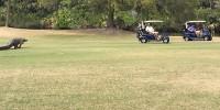 Гигантский аллигатор прервал турнир по гольфу в США