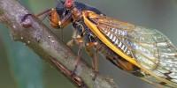 Португалия: ученые просят помощи в записи стрекота цикад