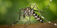 Тигровый комар распространяется по Испании