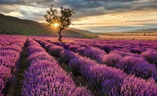 Лавандовое поле в Испании