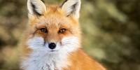 Португалия: охота на лис