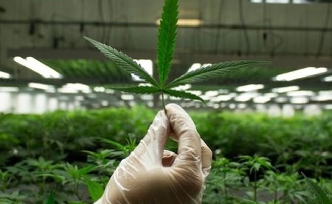 Испания - производитель медицинской марихуаны