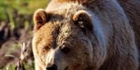 В лесах Великобритании поселятся волки и медведи
