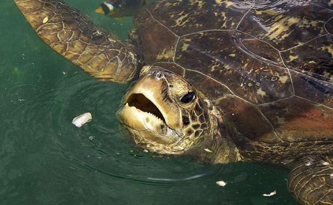 В Китае умерла редчайшая в мире черепаха
