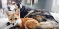 Удивительная дружба собаки и лисы
