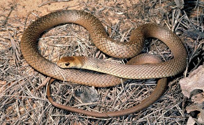 Австралиец попытался спасти собаку от ядовитой змеи и умер
